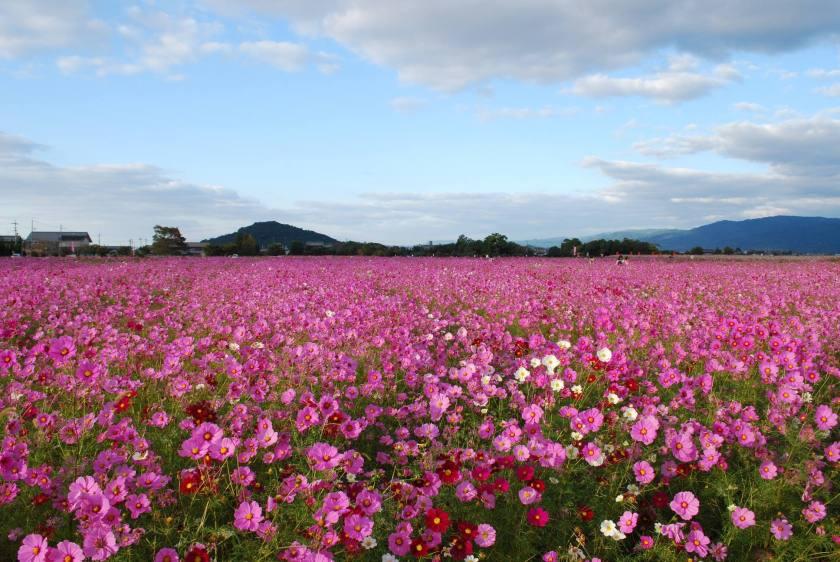 Fujiwara Palace Ruins Nara Kashihara - Pink Cosmos Field Autumn