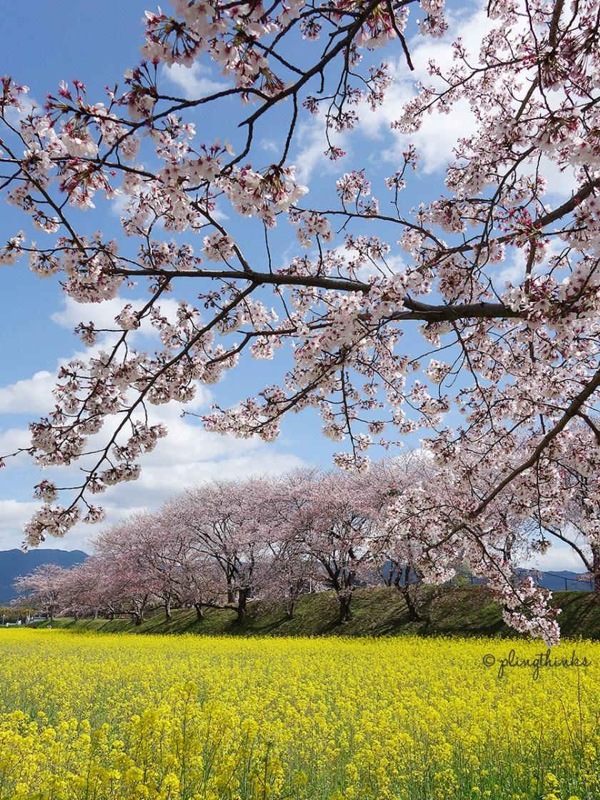 Best Place for Cherry Blossoms - Nara Fujiwara Palace Ruins