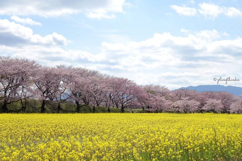 Fujiwara Palace Nara - Cherry Blossom Season Yellow Flowers