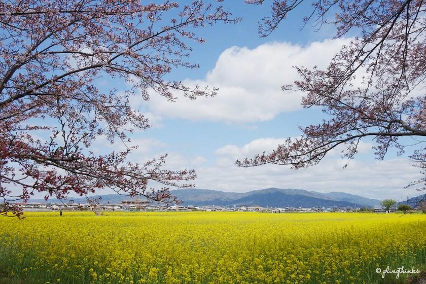 Fujiwara Palace Ruins Nara Japan - Spring Cherry Blossom Season Yellow Flowers