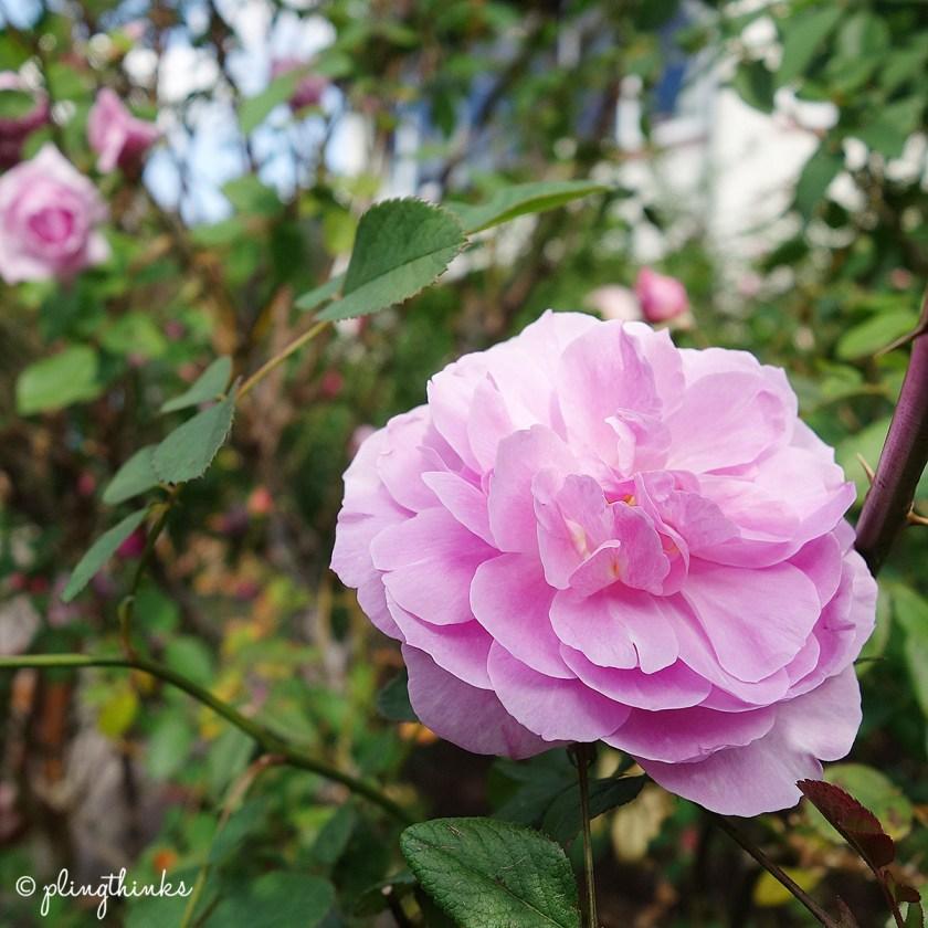 Kordes Rose - Kobe Nunobiki Herb Garden
