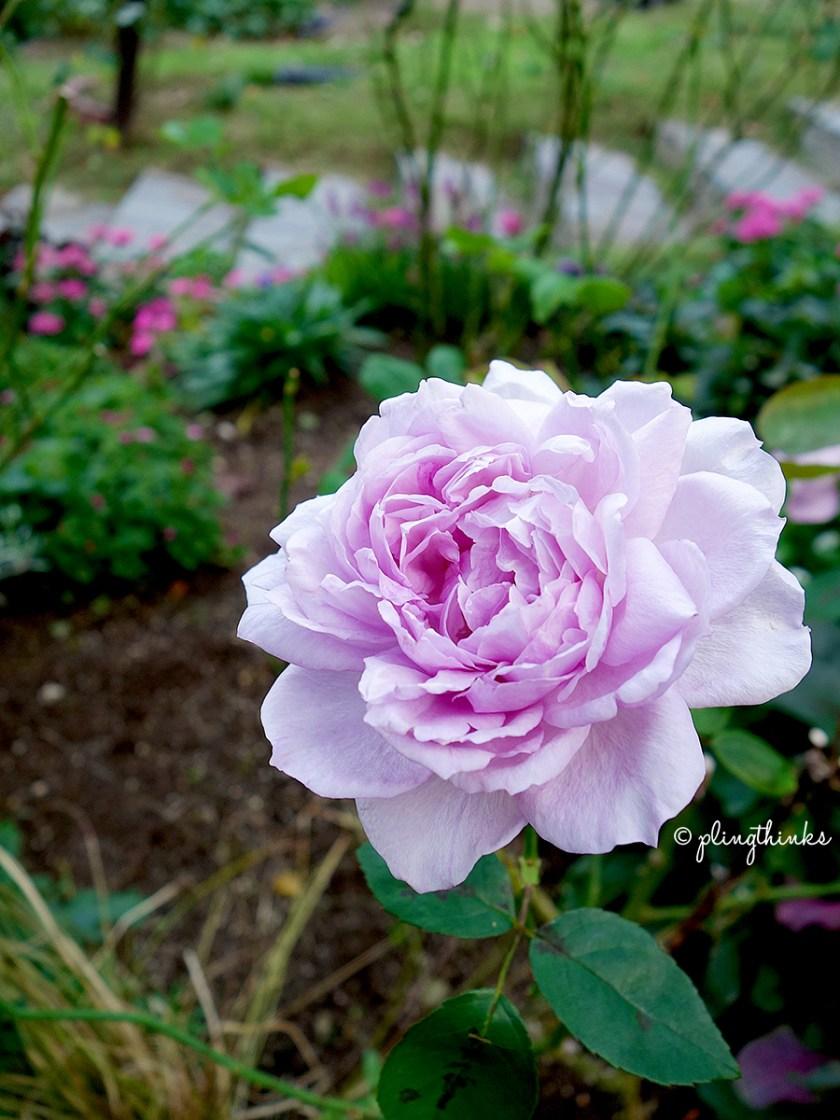 Rose Bloom - Kobe Nunobiki Herb Gardens Autumn