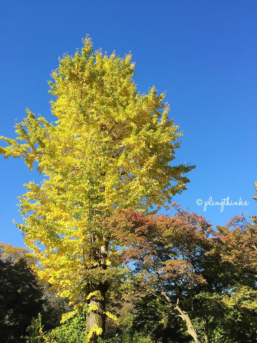 Jojakkoji Temple Japanese Gingko Tree - Kyoto Arashiyama