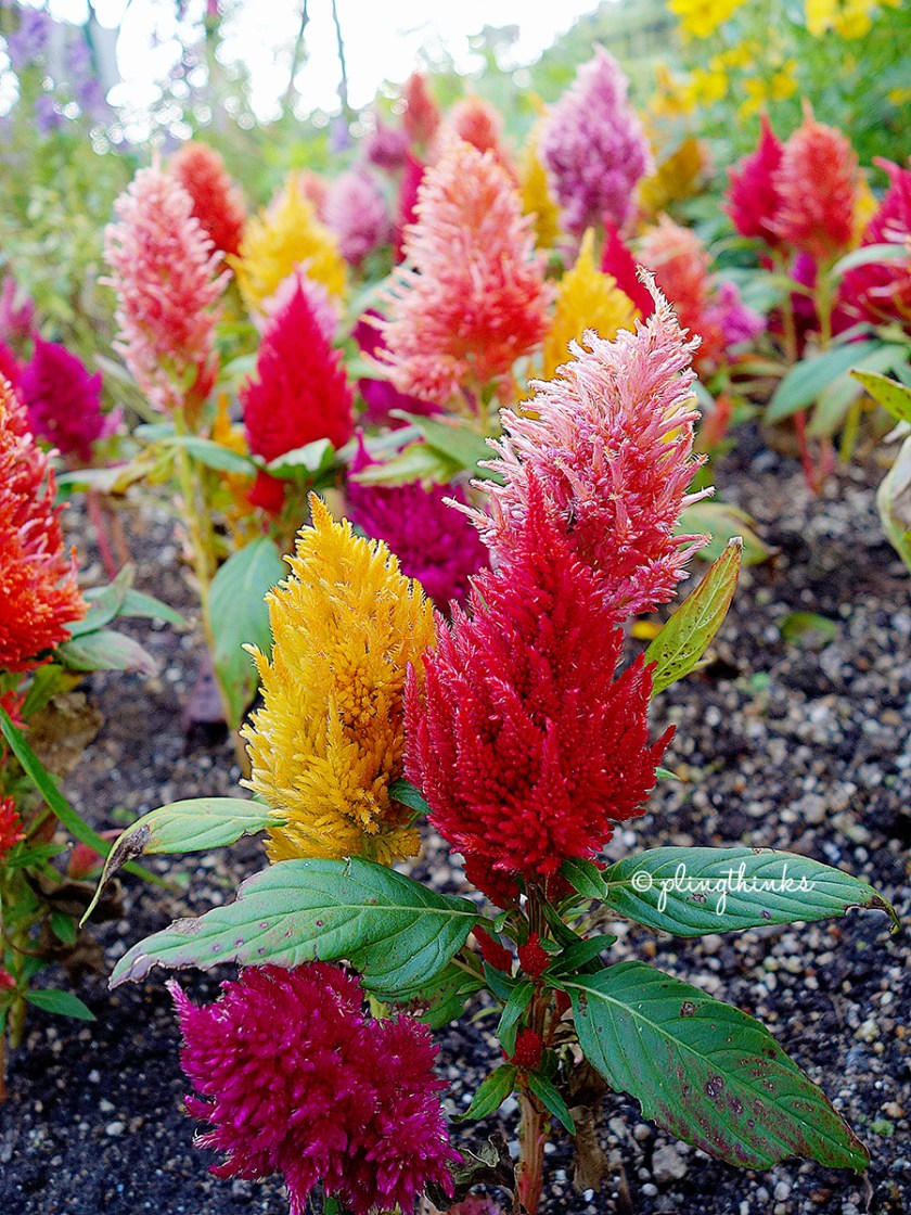 Kobe Nunobiki Herb Gardens - Colorful feather duster flowers