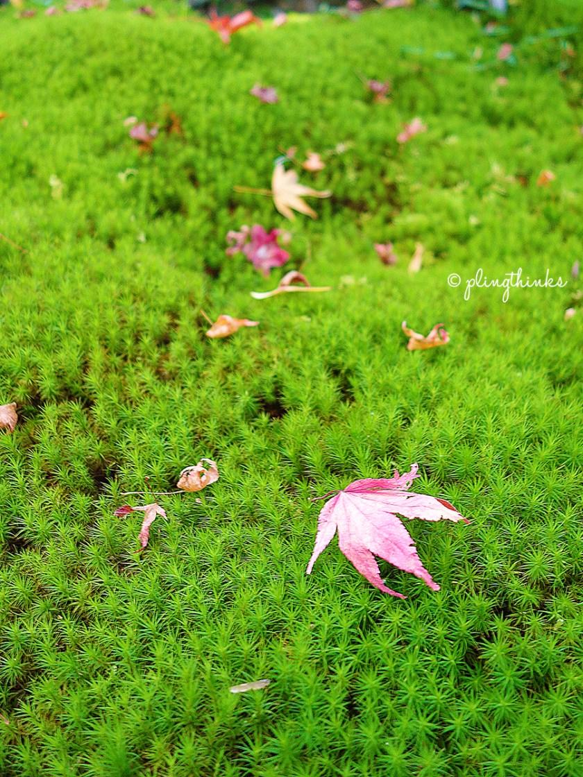 Moss in Autumn - Jojakkoji Temple Kyoto Arashiyama
