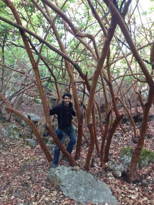 Arbutus andrachne, Dibeen Forest, Jordan