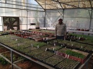 nursery assistant, Ibrahim Odeh in the greenhouse amongst his hard work