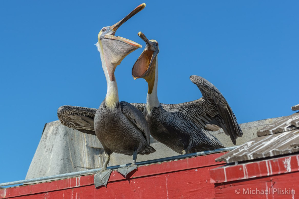 Pelicans play at the Redondo Beach pier