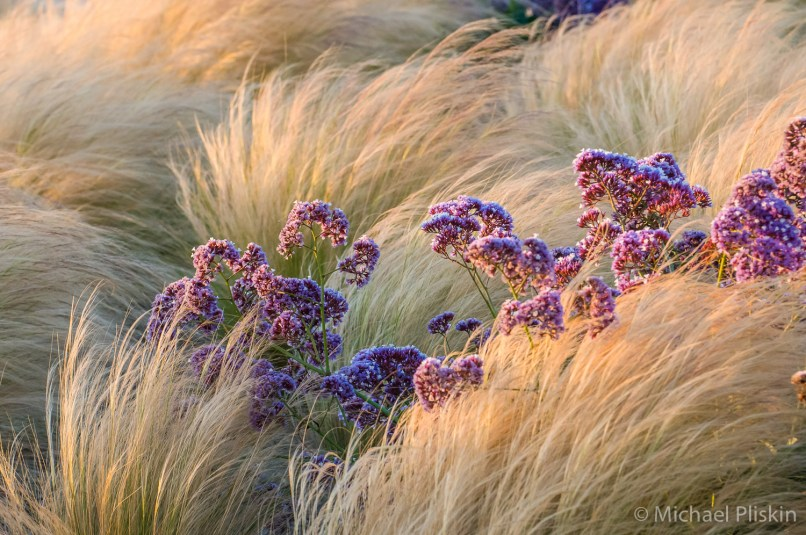 Ornamental grasses on the Esplanade in Redondo Beach