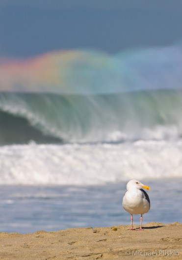 Seagull seems oblivous to the huge wave breaking behind him. Rainbow effect is caused by the sunlight playing on the wind-whipped mist above the breaker.