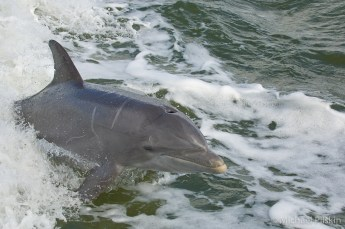 Dolphin swims in boat's wake in Everglades National Park