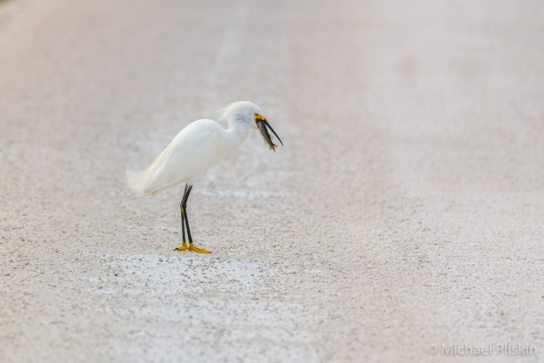 Snowy Egret eating a fish