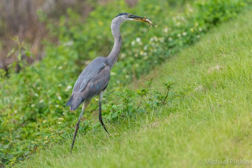 Great Blue Heron eating a frog, Sunnyhill Restoration Area