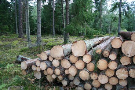 Plockhugget timmerupplägg i Fyllerydskogen, Växjö kommun