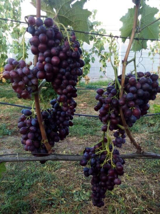 Сорт винограда Мускат Новошахтинский - описание растения ...