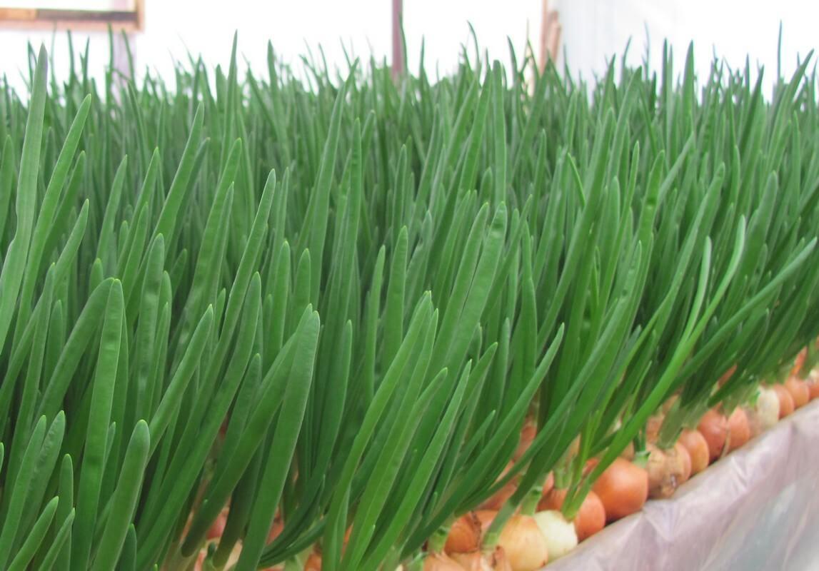 Comment Cultiver Les Oignons comment faire pousser des oignons verts à l'intérieur. quel