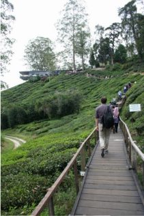 boh-tea-cameron-highlands-5