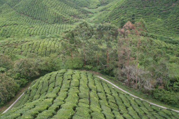 boh-tea-cameron-highlands-6