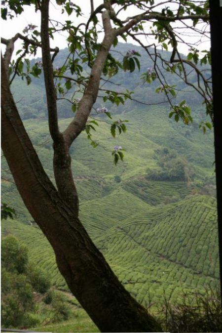boh-tea-cameron-highlands-8