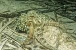 Kroatien, Peljesac, Zuljana, Tauchen, Gemeine Krake, Octopus vulgaris