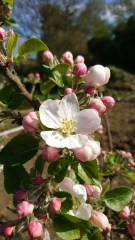 Apple tree number two, I'm hoping it's a cooker - possibly a Bramley?