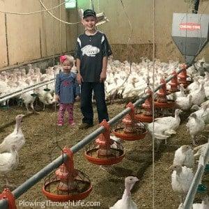 inside a turkey barn