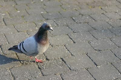 Le pigeon unijambiste du Parvis St Pierre