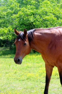 Corey, the solid-brown paint horse