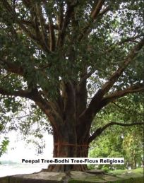 Peepal Tree-Bodhi Tree-Ficus Religiosa