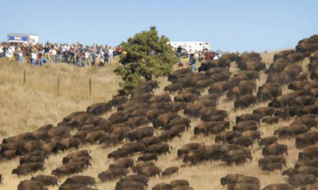 sioux-bufalos