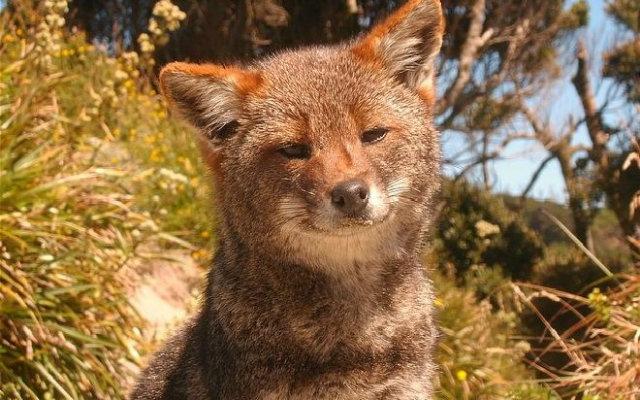 extincion-zorro