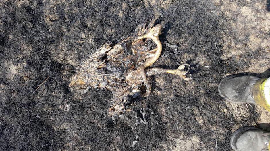 águila y serpiente provocan incendio forestal en Montana