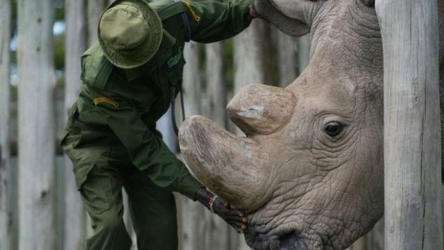 Murió el último macho de rinoceronte blanco en el mundo
