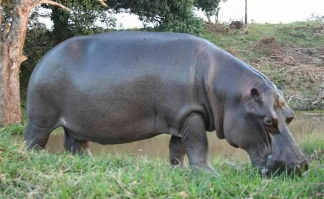 Capturan a hipopótamo que deambulaba en Veracruz