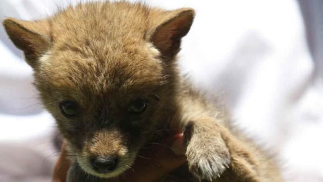 Rescatan coyote que iba a ser vendido por Facebook