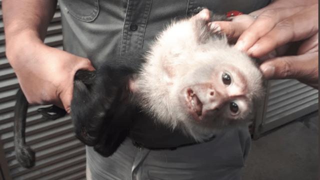 Mono Capuchino Reforma Lomas de Chapultepec Captura