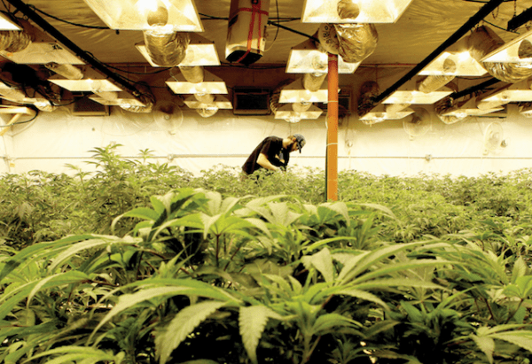 marihuana mercado