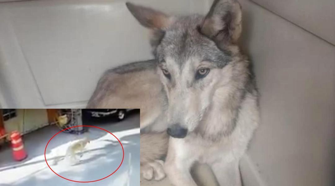 Capturan a lobo en inmediaciones del Zoológico de Aragón