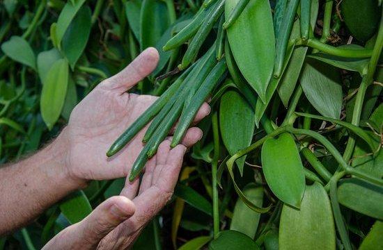 vainilla, peligro de extinción, México