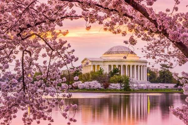 Cerezos en flor, en Washington, D.C.