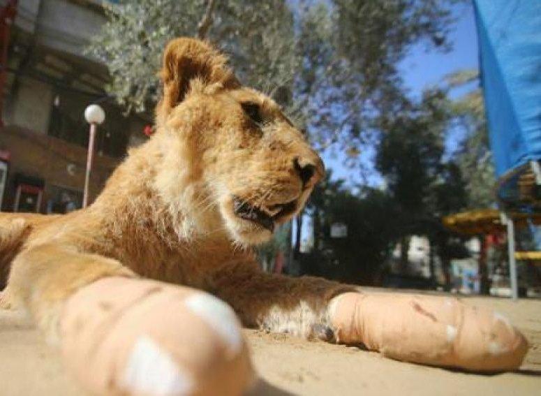 Mutilan a una leona para que