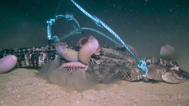 Graban a isópodos devorando a un caimán