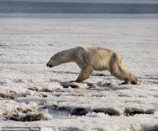 Oso polar perdido en Rusia.