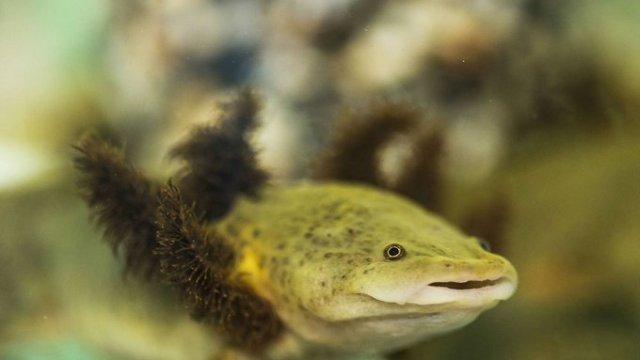 Monjas salvan salamandra 'achoque' de Pátzcuaro de la extinción