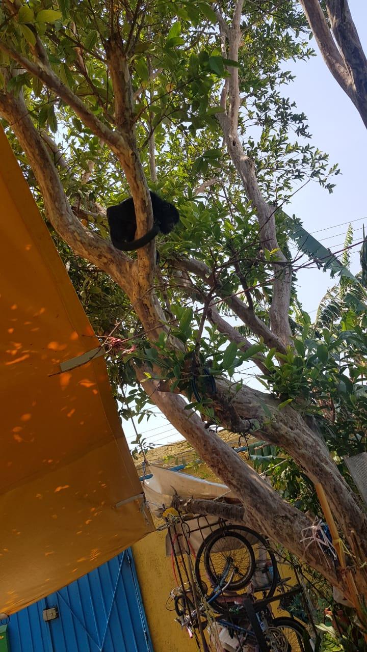 Brigada de Vigilancia Animal rescató a un mono aullador