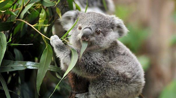 Peligor Extinción, Koala, Extinto