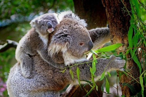 koala, extincion funcional