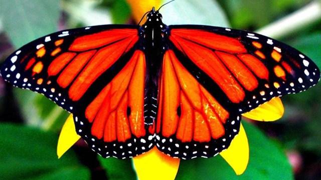 Mes de la mariposa monarca
