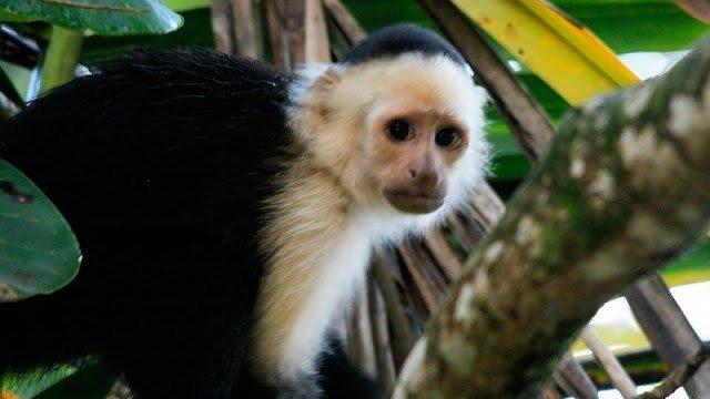Se sacrificaron de manera ilegal a crías de monos capuchinos