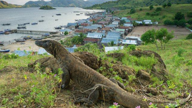 Este es el plan para devolver al dragón de komodo su isla